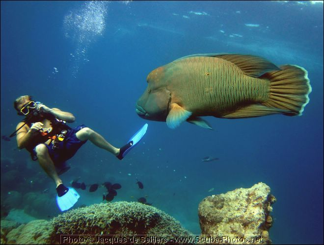 5-napoleon-wrasse-frankie-1092-c1m2-great-barrier-reef